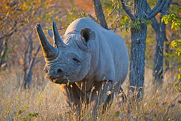 Black Rhinoceros (Diceros bicornis), near Halali, Etosha National Park, Namibia, Africa