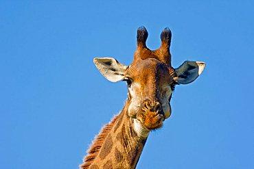 Giraffe (Giraffa camelopardalis), Hluhluwe-Imfolozi National Park, South Africa, Africa