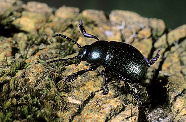 Earth-boring dung beetle (Geotrupes vernalis)