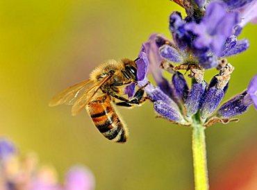 Bee (Apis), feeding, True Lavender (Lavandula angustifolia)