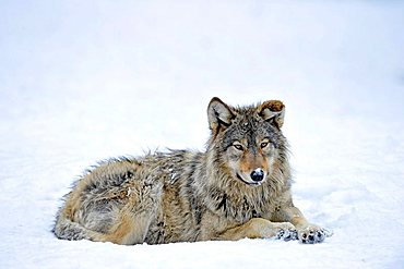 Mackenzie Valley Wolf, Alaskan Tundra Wolf or Canadian Timber Wolf (Canis lupus occidentalis), young in the snow