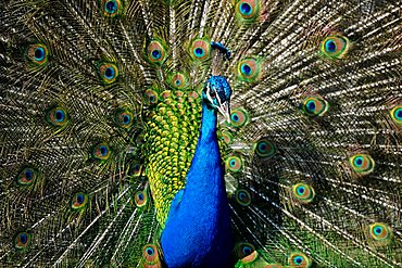 Indian Peafowl (Pavo cristatus) displaying