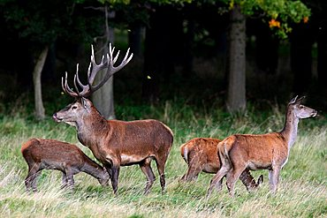 red stag during the rut with hinds - red deer in heat - male and female - behaviour (Cervus elaphus)