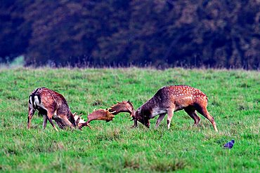 fighting fallow deers during the rut - males (Cervus dama) (Dama dama)