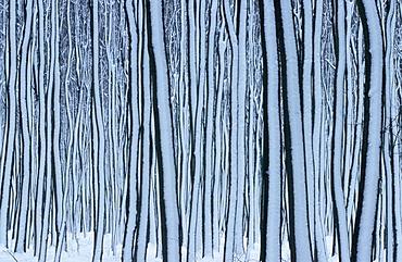 Beech forest in winter, Hessen, Germany / (Fagus sylvatica)