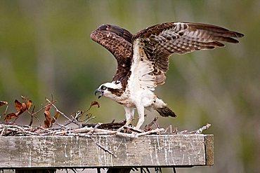 Osprey (Pandion haliaetus) in an artificial nest, Sanibel Island, Florida, USA