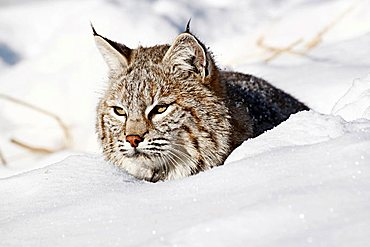 Bobcat (Lynx rufus) in the snow, Montana, USA