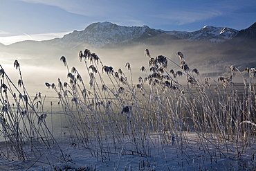 Frost-covered reeds on the shore of the Kochelsee (Lake Kochel) enshrouded in mist, Bavarian pre-Alps, Upper Bavaria, Bavaria, Germany, Europe