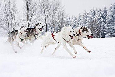 Huskies, Winterberg Sled Dog Races 2010, Sauerland, North Rhine-Westphalia, Germany, Europe