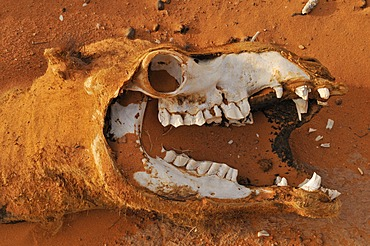 Skull of a camel, Acacus Mountains or Tadrart Acacus range, Tassili n'Ajjer National Park, Unesco World Heritage Site, Algeria, Sahara, North Africa