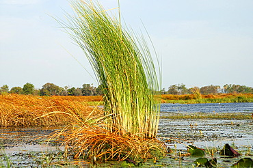Reed in the Okavango Delta Botswana