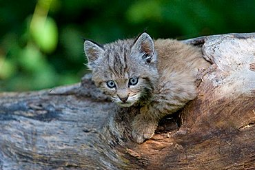 bobcat cub looking out of a radix