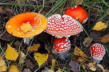 Fly amanita - fly agaric - toadstool - mushroom (Amanita muscaria)