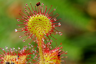 Oblong-leaved sundew or spoonleaf sundew (Drosera intermedia) in its natural bog habitat, Birr, Offaly, Midlands, Republic of Ireland, Europe