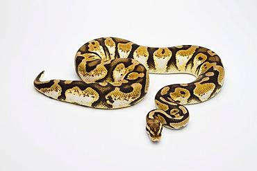 Pastel Calico Ball Python or Royal Python (Python regius), female