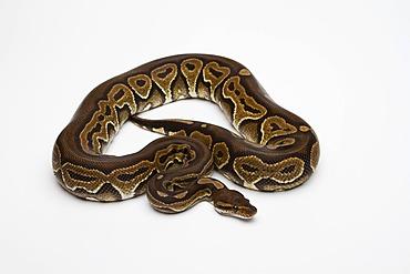 Black Pastel Ball Python or Royal Python (Python regius)