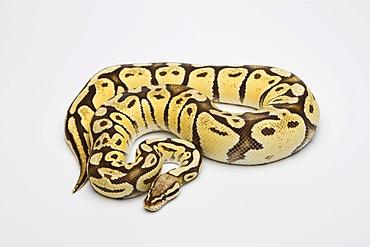 Super Pastel Vanilla Ball Python or Royal Python (Python regius), female