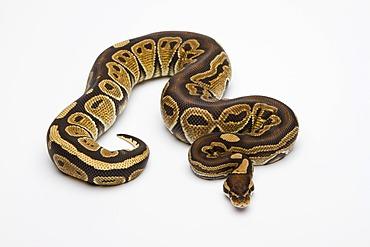 Paradox Super Fire Ball Python or Royal Python (Python regius), male