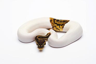 Leopard Piebald Ball Python or Royal Python (Python regius), male