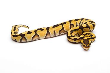 Tiger Ball Python or Royal Python (Python regius), female