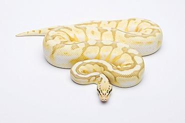Killer Bee Butter Ball Python or Royal Python (Python regius), male