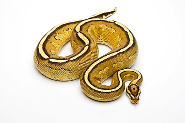 Superstripe Ball Python or Royal Python (Python regius), male