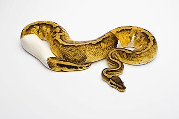 Pastel Piebald Ball Python or Royal Python (Python regius), female