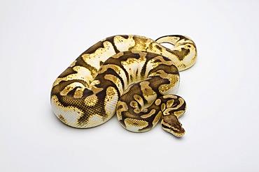 Pastel Sugar Ball Python or Royal Python (Python regius), female