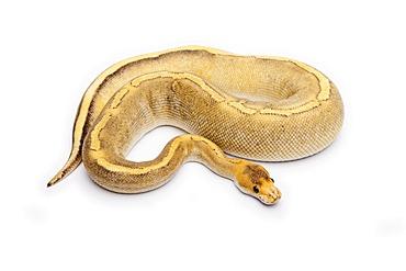 Champagne Calico Ball Python or Royal Python (Python regius), female