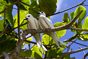 Common White Terns (Gygis alba), Marianne Island, Seychelles, Africa, Indian Ocean