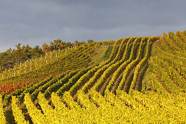 Vineyards near Altmannsdorf, Steigerwald, Lower Franconia, Franconia, Bavaria, Germany, Europe