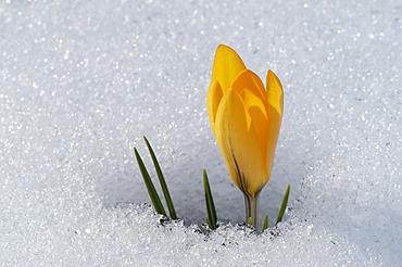 Crocus bloom in snow