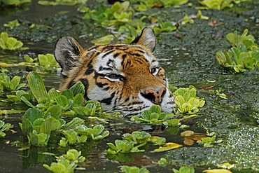 Siberian tiger (Panthera tigris altaica), swimming, in the zoo of Antwerp, Belgium, Europe