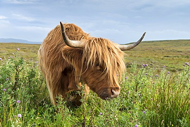 Scottish Highland Cattle or Kyloe grazing on thistle flowers, northern Scotland, Scotland, United Kingdom, Europe