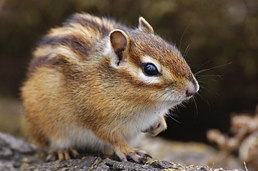 Siberian Chipmunk / Tamias sibiricus. North-Ussuriland Russia.