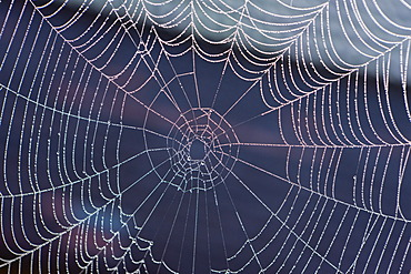 Spider web with morning dew, Lake Staffelsee, Seehausen, Murnau, Upper Bavaria, Bavaria, Germany, Europe, PublicGround