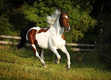 Wiekopolska, gelding, skewbald horse, galloping across a meadow