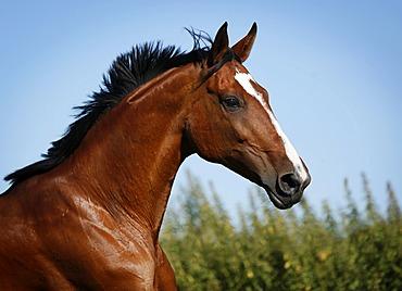 Brown mare, Wielkopolska, Polish warmblooded horse, portrait, in motion