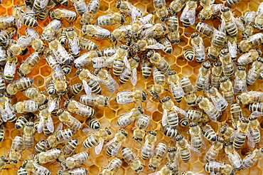 Honey bees (Apis mellifera), worker bees caring for the brood, larvae, circa 8 days