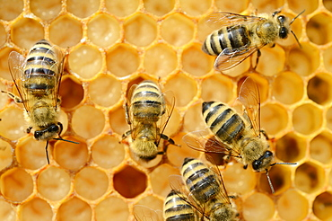 Honey bees (Apis mellifera), worker bees caring for the brood, on brood cells, larvae, circa 8 days