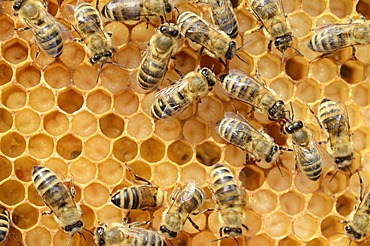 Honey bees (Apis mellifera), worker bees caring for the brood, on brood cells, larvae, circa 8 days, in honeycomb cells