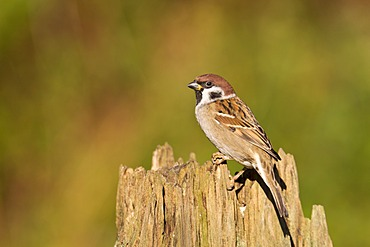 Eurasian Tree Sparrow (Passer montanus) on a stump used as a food stand, Gifhorn, Lower Saxony, Germany, Europe