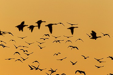 Greylag Geese (Anser anser) in flight in front of an evening sky, Ruegen Island, Mecklenburg-Western Pomerania, Germany, Europe