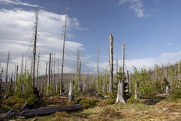 Forest dieback at Mt Lusen, Bavarian Forest, Bavaria, Germany, Europe