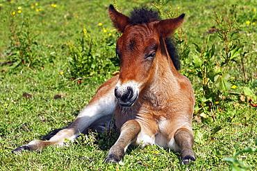 Young foal, Icelandic Horse, Icelandic Pony (Equus przewalskii f. caballus)