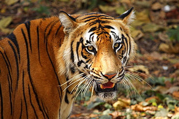 Bengal tiger, or Royal Bengal tiger (Panthera tigris tigris, previously Panthera tigris bengalensis), Kerala, India, Asia