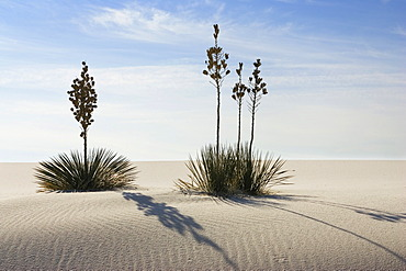 Soaptree Yucca (Yucca elata) in dunes, White Sands National Monument, New Mexico, USA, North America