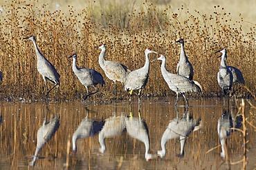 Sandhill Cranes (Grus canadensis) in the water, reflection, Bosque del Apache Wildlife Refuge, New Mexico, North America, USA