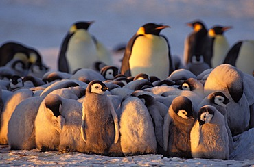 Emperor penguins (Aptenodytes forsteri) with chicks, Weddell Sea, Antarctica