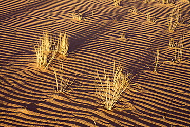 Tufts of grass in the sand of the Libyan Desert, Wadi Awis, Sahara, Libya, North Africa, Africa